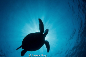 Turtle in flight by Leena Roy
